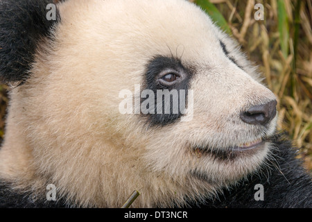 Close up of young Giant Panda - Stock Photo