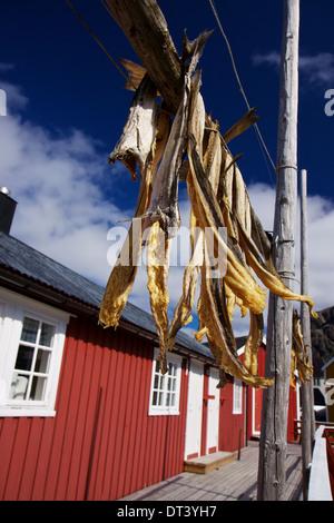 Dried stockfish hanging in front of fishing hut on Lofoten islands in Norway - Stock Photo