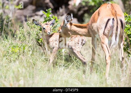 The impala Aepyceros melampus Mother and new born calf - Stock Photo