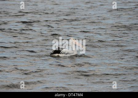 Australian Pelican (Pelecanus conspicillatus) swimming in the sea. - Stock Photo