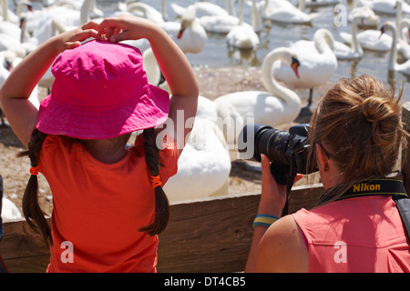 Photographer taking photos of Mute swans, Cygnus olor, with young girl watching at Abbotsbury Swannery, Dorset UK - Stock Photo