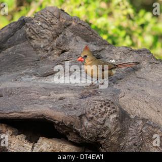 Northern Cardinal, Cardinalis cardinalis, female - Stock Photo
