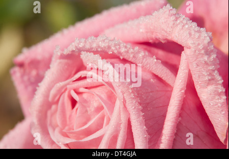 Closeup image of frost crystals on a beautiful pink rose - Stock Photo