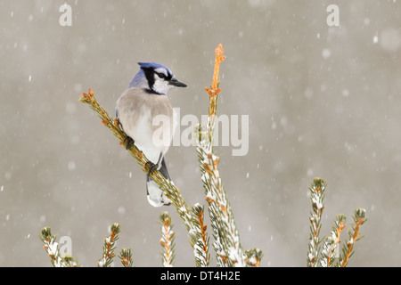 Blue Jay in snow storm - Stock Photo