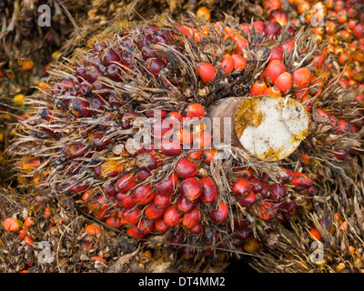 Palm oil fruits in a cluster as they come from the tree - a new source of fuel. - Stock Photo
