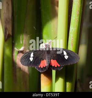 Butterfly species 'Parides Iphidamas' at Butterfly Park - Stock Photo