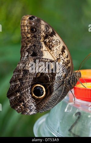 Butterfly species 'Caligo Memnon' at Butterfly Park - Stock Photo