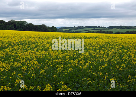 Panoramic view of rapeseeed fields in flower at Huntercombe, near Nuffield, Oxfordshire, England, Great Britain. - Stock Photo