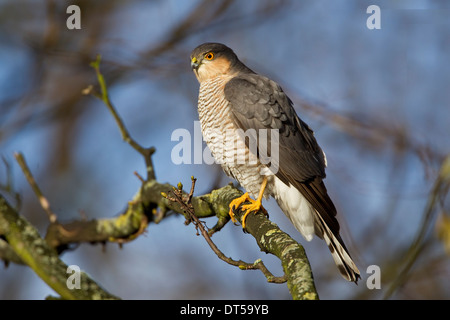 Sparrowhawk male Accipiter Nisus perching in a tree observing prey - Stock Photo