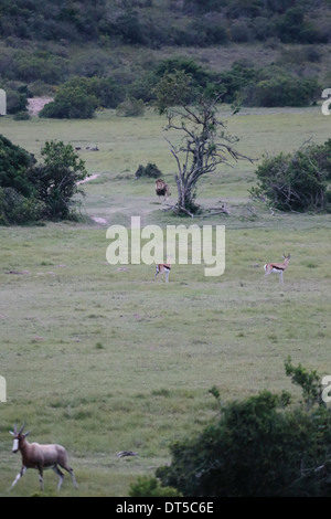 African plain with impala deer keeping a lookout for male lion in background - Stock Photo