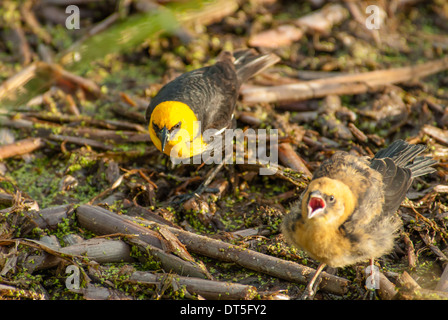 Yellow-headed blackbird chick, Xanthocephalus xanthocephalus, begging for food from his parent, Big Lake, Alberta - Stock Photo