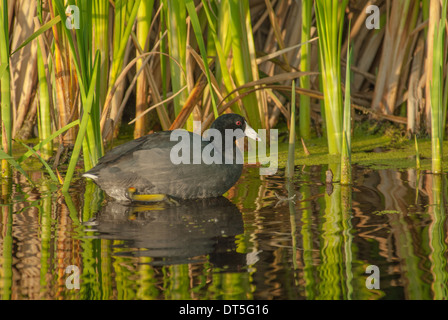 American coot, Fulica americana, swimming in reflective open water in a marsh in the early evening, Big Lake, Alberta - Stock Photo