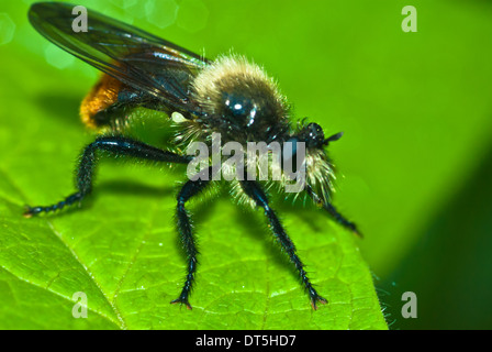 A bee-like robber fly, Laphria coquillettii, perched on the edge of a leaf, Riverlot 56 Natural Area, St Albert, - Stock Photo