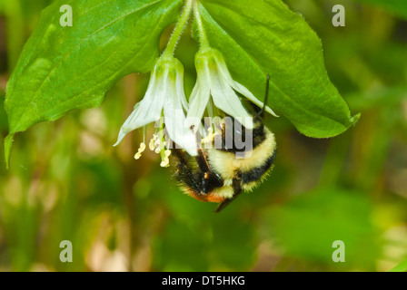 Tricolored bumble bee, Bombus ternarius, feeding from fairybell, Disporum trachycarpum, Wagner Bog, Alberta - Stock Photo