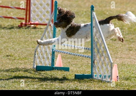 A brown and white Spaniel mix jumping over a wingless jump agility equipment in a field. - Stock Photo