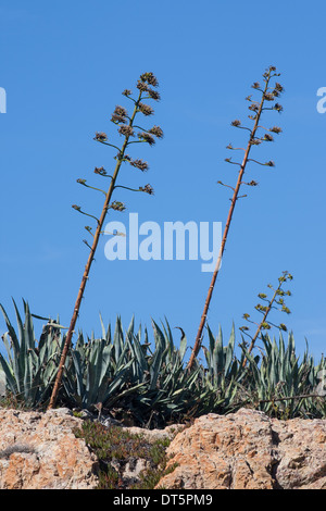 American agave, American aloe, century plant, maguey, Amerikanische Agave, Hundertjährige Agave, Agave americana - Stock Photo