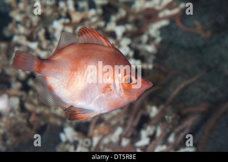 Boarfish, Eberfisch, Ziegenfisch, Capros aper - Stock Photo