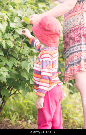 Little girl helping her mother pick redcurrants from bush in garden. - Stock Photo