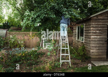 Man on ladder in tree Stock Photo
