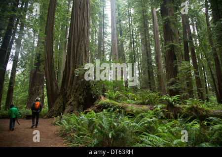 Father and son in Redwoods National Park, California, USA - Stock Photo