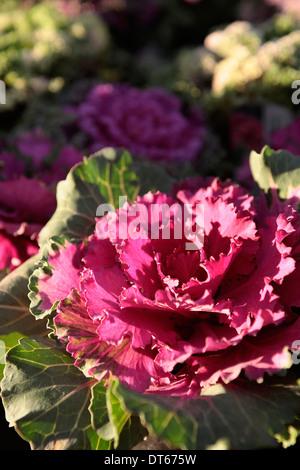 Ornamental Kale, Brassica oleracea, purple leaves n bright sunshine. - Stock Photo