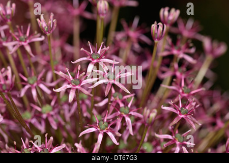 Allium gladiator close up detail of mass of pink star shaped small star shaped flowers allium gladiator close up detail of purple spherical flower head of an ornamental mightylinksfo