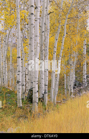 Aspen trees in autumn with white bark and yellow leaves. Yellow grasses of the understorey. Wasatch National forest - Stock Photo