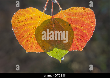 Three aspen leaves with the light shining through them. Brown and green autumn colours. - Stock Photo