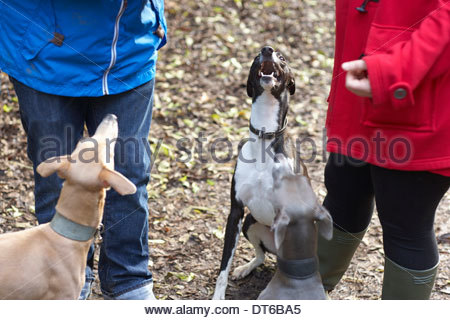 Cropped image of young couple and three whippets - Stock Photo
