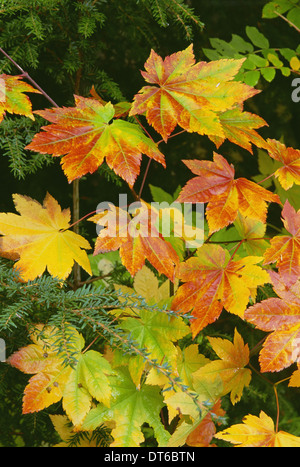 Autumn vine maple leaves, turning from green through gold to red in the autumn. - Stock Photo