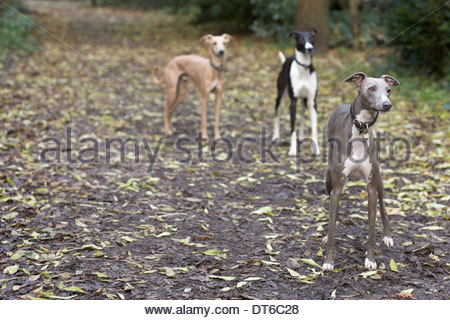 Three alert whippets waiting on forest walk - Stock Photo