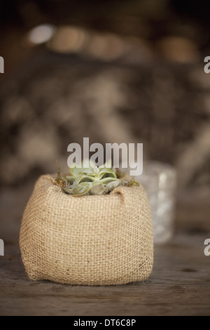 A small succulent plant in a container covered with hessian, on a dining table. - Stock Photo