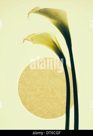 Calla lily flowers and a circle on a cream background. - Stock Photo