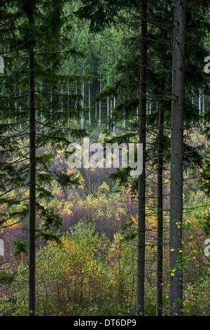 Mixed forest showing pine trees on slope and birches growing in valley - Stock Photo