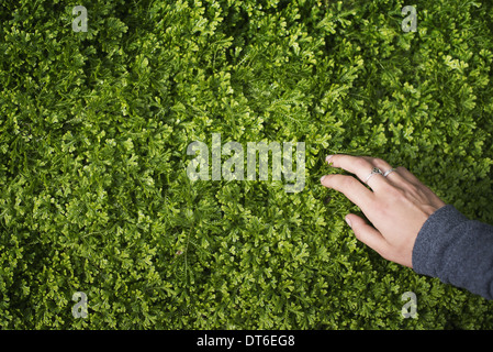 A woman's hand stroking the lush green foliage of a growing plant. Small delicate frilled edged leaves. - Stock Photo