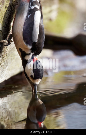 Male Great Spotted Woodpecker, Dendrocopos major, drinking from a pond, East Yorkshire UK - Stock Photo