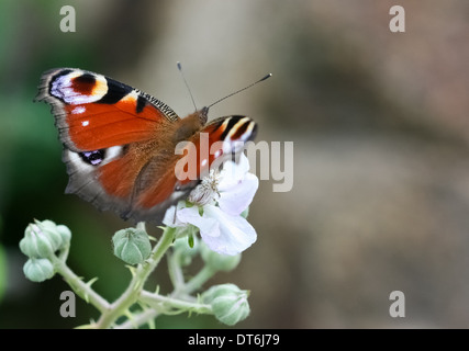 European Peacock (Inachis Io) butterfly resting on flower. - Stock Photo