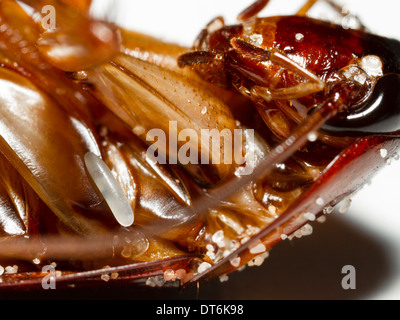 Paralysed cockroach with parasitoid jewel wasp egg - Stock Photo