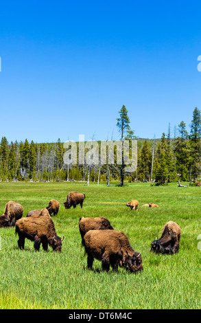 Bison (American Buffalo) in Yellowstone National Park, Wyoming, USA - Stock Photo
