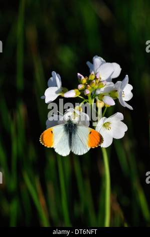 An orange tip butterfly on a cuckoo flower or lady's smock UK - Stock Photo