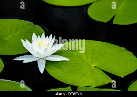 A fragrant water lily (nymphaea odorata) with lily pads. - Stock Photo