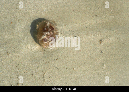 jellyfish over sand in the beach - Stock Photo