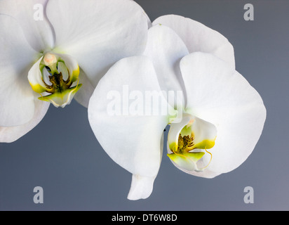 Close up photograph of orchid blossom. - Stock Photo