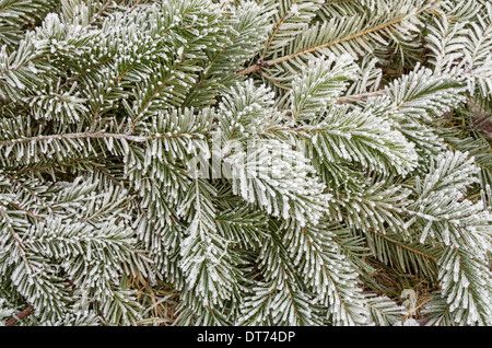 frosty pine branches with needles covered in ice crystals - Stock Photo