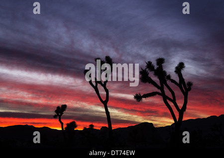 joshua trees silhouetted against a colorful sunset at Joshua Tree National Park California - Stock Photo