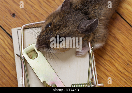 House Mouse Trapped And Killed In Mousetrap 131045 Mouse