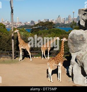 The famous giraffes at Taronga Zoo, with the skyline of Sydney, Australia in the background. - Stock Photo