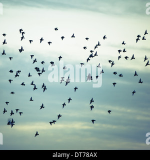 A flock of starlings flying, darting and wheeling across a cloudy sky in Seattle. - Stock Photo