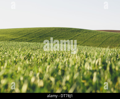 A view across the ripening stalks of a food crop, cultivated wheat growing in a field near Pullman, Washington, - Stock Photo