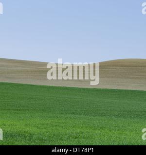 Lush, green rolling hills of the farmland near Pullman, Washington USA. A field of green ripening wheat crop plants. - Stock Photo